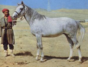 Фото, описание лошади породы Локайская, характеристика для разведения.