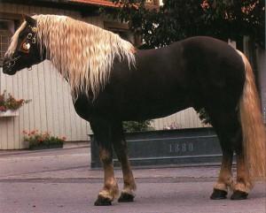 Фото, описание лошади Норикийской породы, характеристика.