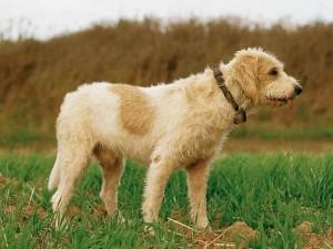 Фото, описание собак породы Большой Вандейский гриффон, характеристика для домашнего разведения.