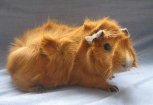 Фото, опис морської свинки породи Абіссінська, характеристика для домашнього розведення і утримання.