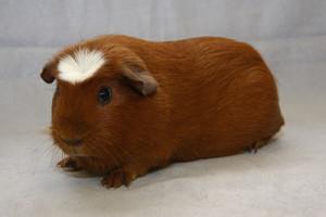 Фото, опис морської свинки породи Американський крестед, характеристика.