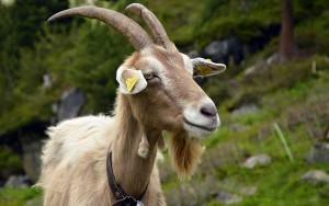 Фото, описание коз породы Бионда дел Адамелло, характеристика для домашнего разведения и содержания.