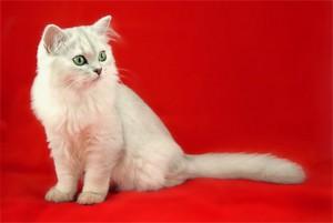 Фото, описание кошек породы Бурмилла длинношерстная, характеристика для домашнего разведения и содержания.