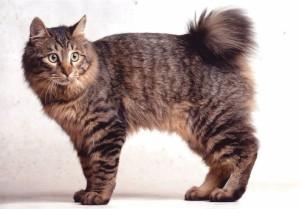 Фото, описание кошек породы Карельский бобтейл, характеристика для домашнего разведения и содержания.