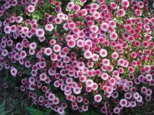 Как правильно ухаживать за мелкоцветными хризантемами.