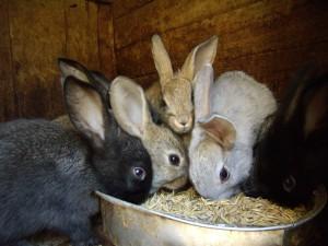 Фото, описание потребности организма кроликов в минеральных добавках.