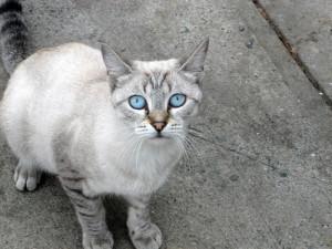 Фото, описание кошек породы Охос азулес, характеристика для домашнего разведения и содержания.