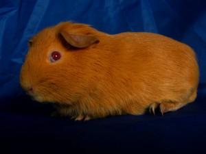 Фото, описание морской свинки породы Селф английский, характеристика для домашнего разведения и содержания.