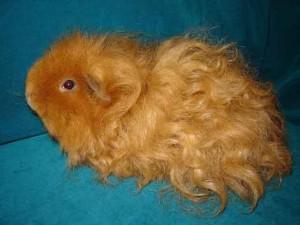 Фото, описание морской свинки породы Тексель, характеристика для домашнего разведения и содержания.