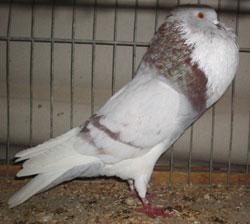 Фото, описание голубей породы Аахенские дутыши, характеристика для домашнего разведения и содержания.