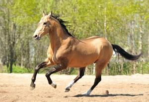 Фото, описание лошадей породы Ахалтекинская, характеристика для домашнего разведения и содержания.