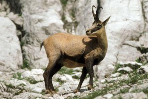 Описание породы коз альпийская серна, характеристика, содержание и фото.
