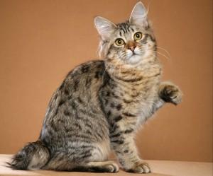 Фото, описание кошек породы Американский Бобтейл, характеристика для домашнего разведения и содержания.