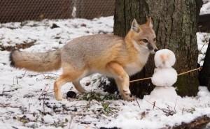 Фото, описание американской лисицы, характеристика породы, особенности жизни.