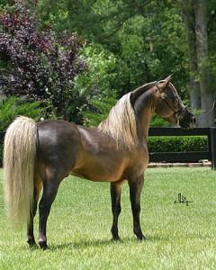 Опис і характеристика американського шетландського поні, розведення, утримання та фото.