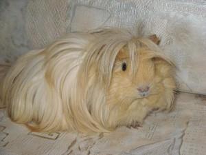 Фото, описание ангорской морской свинки, характеристика породы, домашнее содержание.