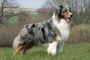 Фото, описание собак Австралийских овчарок, характеристика породы для домашнего разведения.