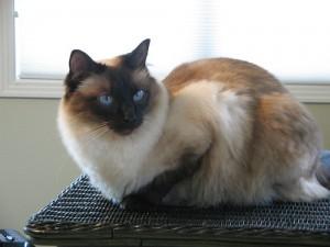 Фото, описание кошек породы Балинезийская , характеристика для домашнего разведения и содержания.