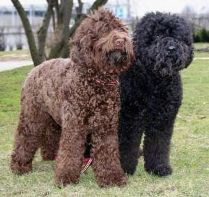 Фото, описание собак породы Барбет, характеристика для домашнего разведения и содержания.
