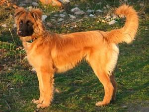 Фото, описание собак породы Баскская пастушья овчарка, характеристика для домашнего разведения и содержания.