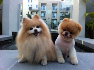 Фото, описание собак породы Померанский собаки, характеристика для домашнего разведения.