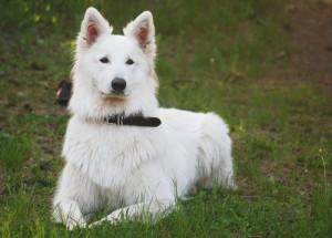 Опис білих вівчарок, характеристика, утримання та фото.