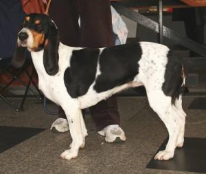 Фото, описание собак породы Бернская гончая, характеристика для домашнего разведения и содержания.