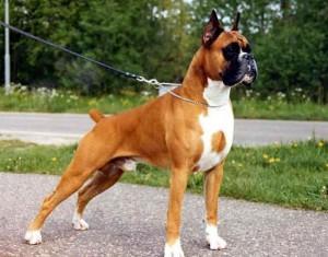 Фото, описание собак породы Боксер, характеристика для домашнего разведения и содержания.