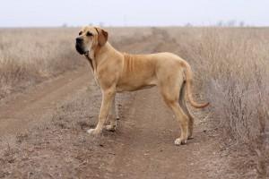 Фото, описание собак породы Бразильская фила, характеристика для домашнего разведения.