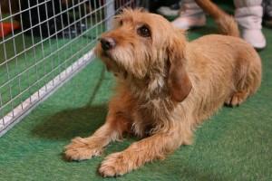 Порода собак Бассет рыжий бретаньский (бретонский), характеристика, описание, содержание и фото.