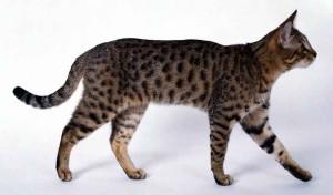 Фото, описание кошек породы Калифорнийская сияющая, характеристика для домашнего разведения.