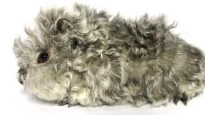 Фото, описание морских свинок породы Керли, характеристика для домашнего разведения и содержания.