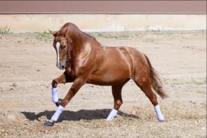 Фото, описание лошадей породы Донская, характеристика для домашнего разведения и содержания.