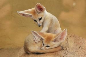 Фото, описание лисицы породы Фенек, характеристика.