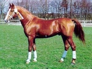 Фото, описание лошадей породы Фредериксборг, характеристика для домашнего разведения и содержания.