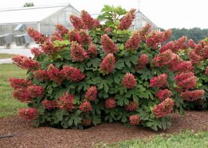Фото, описание куста Гортензия метельчатая, характеристика, выращивание и уход в домашних условиях.