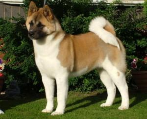 Фото, описание собак породы Большая Японская, характеристика для домашнего разведения и содержания.