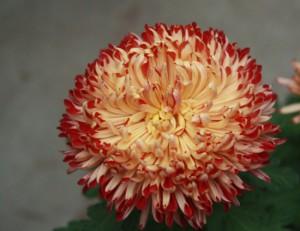 Выращивание индийской хризантемы из семян возле дома, описание, советы.