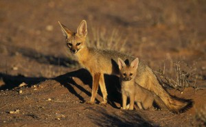 Фото, описание Южноафриканской породы лисиц, характеристика, особенности жизни.