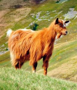Фото, описание Карпатской породы коз.