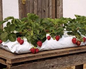 Фото, описание процесса посадки и выращивания клубники в мешках, в домашних условиях, круглый год.