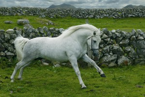 Фото, описание лошадей пони породы Коннемара, характеристика.