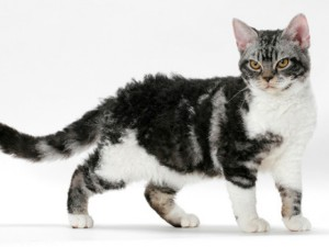 Фото, описание кошки породы Американская жесткошерстная кошка, характеристика для домашнего разведения.