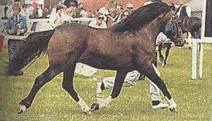 Фото, описание лошадей пони породы Ландийские, характеристика для домашнего разведения и содержания.