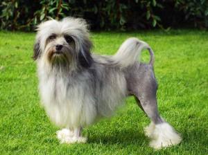 Фото, описание собак породы Лион-Бишон (львиная собака), характеристика для домашнего разведения.