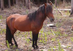 Описание и фото пони породы минго (гаррано), разведение и характеристики.