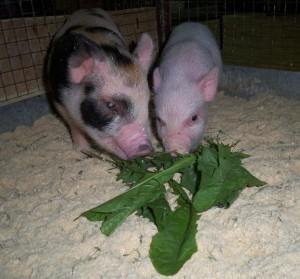 Фото, описание миниатюрных свиней породы мини-сибс, характеристика для домашнего разведения и содержания.