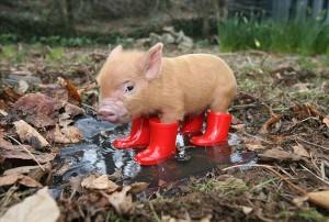Описание домашних мини-пигов, какой характер у миниатюрных свинок.