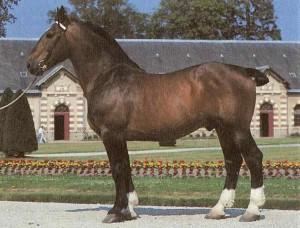 Фото, описание лошадей породы Нормандский коб, характеристика для домашнего разведения и содержания.