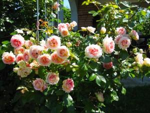 Обрезка кустарниковых и штамбовых роз, фото.